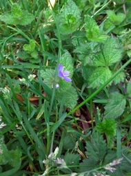 Germander_speedwell