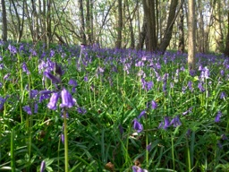 bluebells_pw
