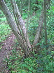 coppice_tree_pw